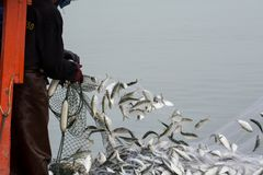 On the fisherman boat, Catching many fish. NOV 5,2016 : On the fisherman boat,Catching many fish at mouth of Bangpakong river in Chachengsao Province east of Stock Images