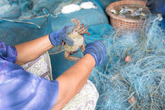 Fisherman catch fresh crab from net Stock Photo