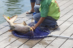 Fisherman Caught A Giant Catfish. Royalty Free Stock Photo