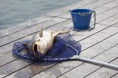 Fisherman  caught a giant  catfish. Stock Photos