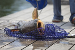 Fisherman caught a giant catfish. Royalty Free Stock Photos