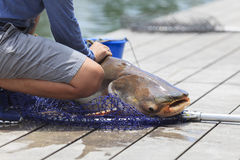 Fisherman  caught a giant catfish. Stock Photography