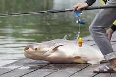 Fisherman  caught a giant catfish. Stock Photos