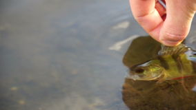 Fisherman caught perch and releases the it back into the lake. HD video stock video footage