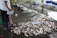 A fisherman check a group of fishes prepare for wholesale bid. Stock Image