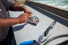 Fisherman cleaning a fish on a boat stock photo