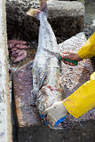 Fisherman cleaning and preparing big fish Royalty Free Stock Images