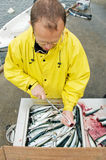 Fisherman cutting up fresh fish. A fisherman scales just fished out scomber royalty free stock image