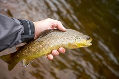 Fisherman displaying a landed brown trout. In his hand above brown river or lake water on a fly fishing trip stock images