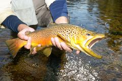 Fisherman displaying a landed brown trout royalty free stock photography