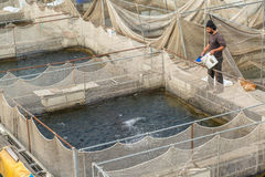 Fisherman feeding fish in a river pisciculture Royalty Free Stock Images