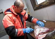 Fisherman filleting cod Stock Photos
