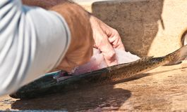 Fisherman filleting a sea trout. Hand of a fisherman filleting a sea trout at a cleaning station of a tropical marina on the Gulf of Mexico stock image
