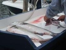 Fisherman filleting striped bass fish