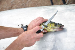 Fisherman Filleting a Walleye Fish Stock Photo