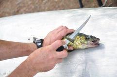 Fisherman Filleting a Walleye Fish. Fisherman Filleting a Walleye (Sander vitreus),a Freshwater Fish Stock Photo