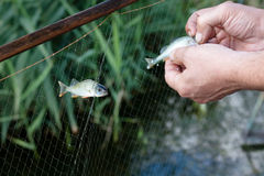 Fisherman and fish. Hands of a fisherman and two fishes Royalty Free Stock Photography