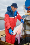 Fisherman with hallibut. On the boat at Lofoten islands Stock Photos
