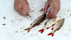Fisherman hand with knife clean roach fish scale stock video footage