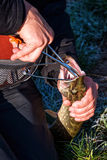 Fisherman hands with catched pike by spinning rod. Stock Image