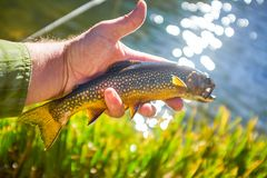 Fisherman holding a brook trout in his hand. In the Flat Tops National Park, Colorado displaying it over the side of the riverbank royalty free stock images