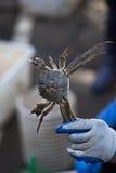 Fisherman Holding Crab Royalty Free Stock Photo