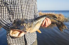 The fisherman is holding a fish pike caught on a hook. In a freshwater pond Royalty Free Stock Image