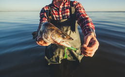 The fisherman is holding a fish Zander caught on a hook. In a freshwater pond Royalty Free Stock Photos