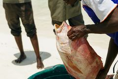 Fisherman is holding fresh fish red snapper on shore ocean. Fisherman is holding a fresh fish red snapper on the shore ocean Stock Images
