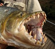 Fisherman holding a huge Goliath Tigerfish Royalty Free Stock Photography