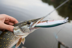 Fisherman holding northern pike Stock Photo