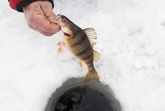 Fisherman holding a Perch caught ice fishing Royalty Free Stock Image