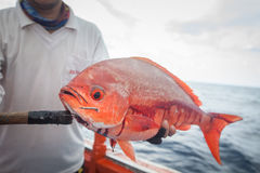 Fisherman holding red fish on the fishing boat Stock Photos