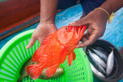 Fisherman holding red grouper fish on the fishing boat Royalty Free Stock Photo