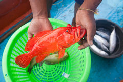 Fisherman holding red grouper fish on the fishing boat Stock Photos