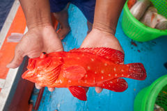 Fisherman holding red grouper fish on the fishing boat Stock Images