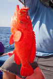 Fisherman holding red grouper fish on the fishing boat Stock Image