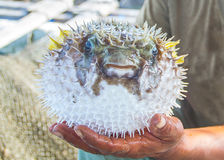 Fisherman holding wet live puffer fish in hand royalty free stock image