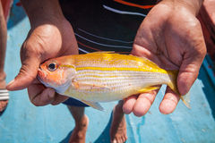 Fisherman holding yellow fish on hand on the fishing boat Royalty Free Stock Image