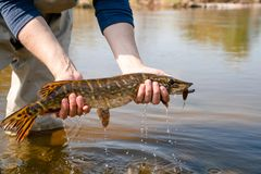 Fisherman holds pike stock images