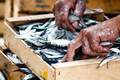 Fisherman packing fresh fish in wooden box Stock Photo