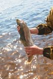 Fisherman presenting Rainbow trout. Spin fishing. Rainbow trout, redband trout. Fisherman presenting Rainbow trout. Spin fishing. fisherman keeps trout Royalty Free Stock Photos
