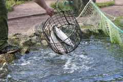 The fisherman pulls out  trout a net from  pond Stock Photos