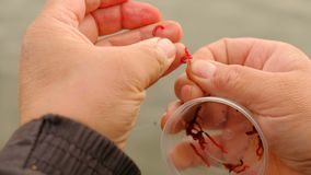Fisherman puts on bloodworm on a hook. stock footage