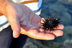 Fisherman's hand holding a sea urchin Stock Image