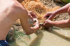 Fisherman separates Nile tilapia fish from the net trap Stock Images