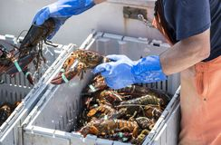 Fresh Main lobsters being sorted on a fishing boat. A fisherman seperates live lobsters by size into bins on his boat to sell at a pier in Maine Royalty Free Stock Image