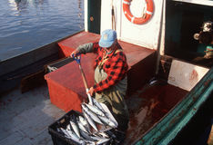 Fisherman shoveling fish on boat Stock Photo