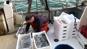 A fisherman is sorting his catch on an anchored fishing-boat stock video footage