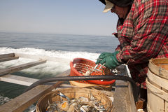 A fisherman sorting out crabs. A fisherman sorting out the crabs into crab pots Stock Image